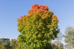 Ahorn-Bäume im Fall Lizenzfreie Stockbilder