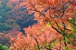 Ahorn-Baum auf dem Berg lizenzfreies stockfoto