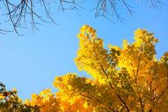 Ahorn-Blätter Stockfotos