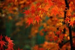 Ahorn-Blätter Stockbild