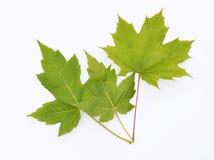 Ahorn-Blätter lokalisiert auf Weiß Lizenzfreie Stockbilder