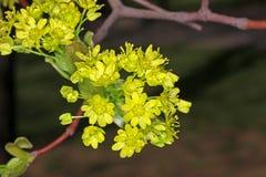 Ahorn blüht im Frühjahr Stockfotos
