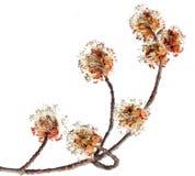 Ahorn-Blume Lizenzfreie Stockbilder