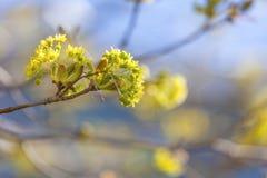 Ahorn-Blumen Stockbilder