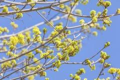 Ahorn-Blumen Lizenzfreie Stockfotografie