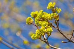 Ahorn-Blumen Lizenzfreies Stockfoto