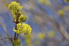 Ahorn-Blumen Stockfotografie
