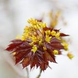 Ahorn-Blumen Lizenzfreie Stockbilder