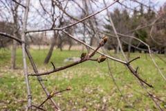 Ahorn in der Blüte im Frühjahr Lizenzfreies Stockbild