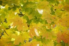 Ahorn Deutschlands, Bayern, Norwegen (Acer-platanoides L ), nahes hohes Stockfotografie