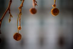 Ahorn drzewo Zdjęcia Royalty Free