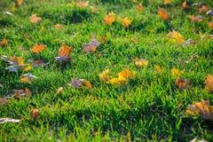 Ahorn gefallene Blätter auf grünem Gras Lizenzfreie Stockbilder