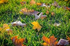 Ahorn gefallene Blätter auf grünem Gras Lizenzfreie Stockfotos