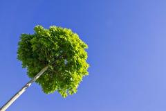 Ahorn gegen den blauen Himmel Lizenzfreie Stockfotos