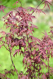 Ahorn genevey von Bloodgood (Acer-palmatum (Thunb ) Thunb ), Jungpflanze Stockfotografie