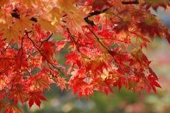 Ahorn im Herbst lizenzfreie stockfotos