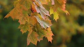 Ahorn im Herbstwald in den Strahlen der untergehenden Sonne stock video footage