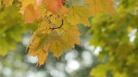 Ahorn im Herbstwald in den Strahlen der untergehenden Sonne stock footage