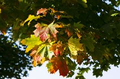 Ahorn-Klasse Acer am Herbst Lizenzfreie Stockfotos