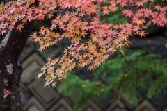 Ahorn-Korridor nahe Kawaguchi See, Japan während des Herbstes Stockfotografie
