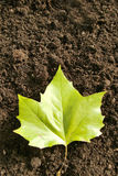 Ahorn leaf Royalty Free Stock Image