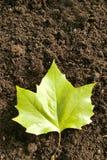 Ahorn leaf. Closeup of ahorn leaf on soil Royalty Free Stock Image