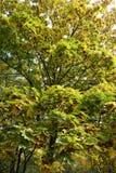 Ahorn leafage und Samaras im Herbst Stockfotografie