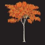 Ahorn mit Blättern Stockbild