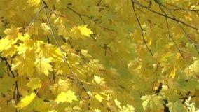 Ahorn mit hellen gelben Blättern stock footage
