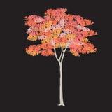 Ahorn mit roten Blättern Stockbilder