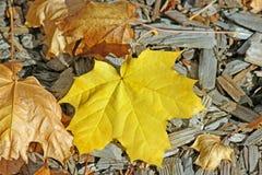 Желтые листья ahorn на предпосылке mulch Стоковое Изображение RF