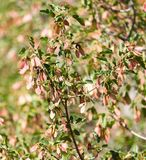 Ahorn-Platanen-Acer-Rubrum-geflügelte Samen Lizenzfreies Stockfoto
