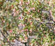 Ahorn-Platanen-Acer-Rubrum-geflügelte Samen Stockfotos