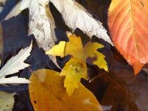 Ahorn- und Erlenbaum verlässt im Wasser Stockbild