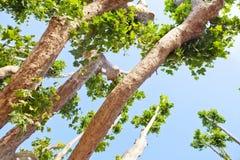 Ahornbäume Lizenzfreie Stockfotos