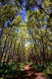 Ahornbäume Lizenzfreie Stockfotografie