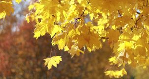 Ahornbäume Ahornherbstbäume Herbstfarben 9 Gelbe und rote Herbstbäume Erstaunlicher Herbst stock footage