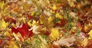 Ahornbäume Ahornherbstbäume Herbstfarben 9 Gelbe und rote Herbstbäume Erstaunlicher Herbst stock video footage