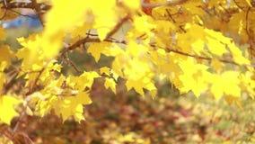 Ahornbäume Ahornherbstbäume Herbstfarben 9 Gelbe und rote Herbstbäume Erstaunlicher Herbst stock video