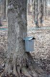 Ahornbäume geben Saft für Sirup auf lizenzfreies stockbild