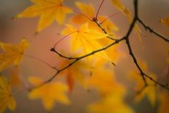 Ahornbaum, Acer palmatum, mit geflügelten Samen Lizenzfreie Stockfotografie
