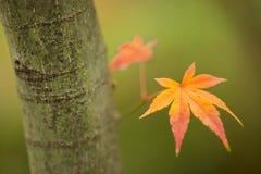 Ahornbaum, Acer palmatum, mit geflügelten Samen Lizenzfreies Stockbild