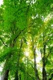 Ahornbaum-Acer-pseudoplanatus mit Sonnenstrahlen im Sommer Lizenzfreies Stockfoto