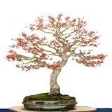 Ahornbaum als Bonsaibaum Stockfotografie