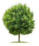 Ahornbaum auf einem weißen Hintergrund Lizenzfreies Stockbild
