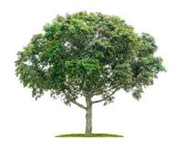 Ahornbaum auf einem weißen Hintergrund Stockfoto