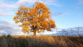 Ahornbaum, der die Farben des Herbstes zeigt stock video