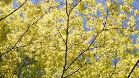 Ahornbaum gegen den blauen Himmel stock video