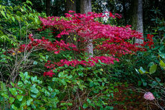 Ahornbaum-glänzendes Rot stockfoto