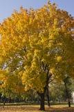 Ahornbaum mit üppigem gelbem Laub im Herbsttag Lizenzfreie Stockbilder